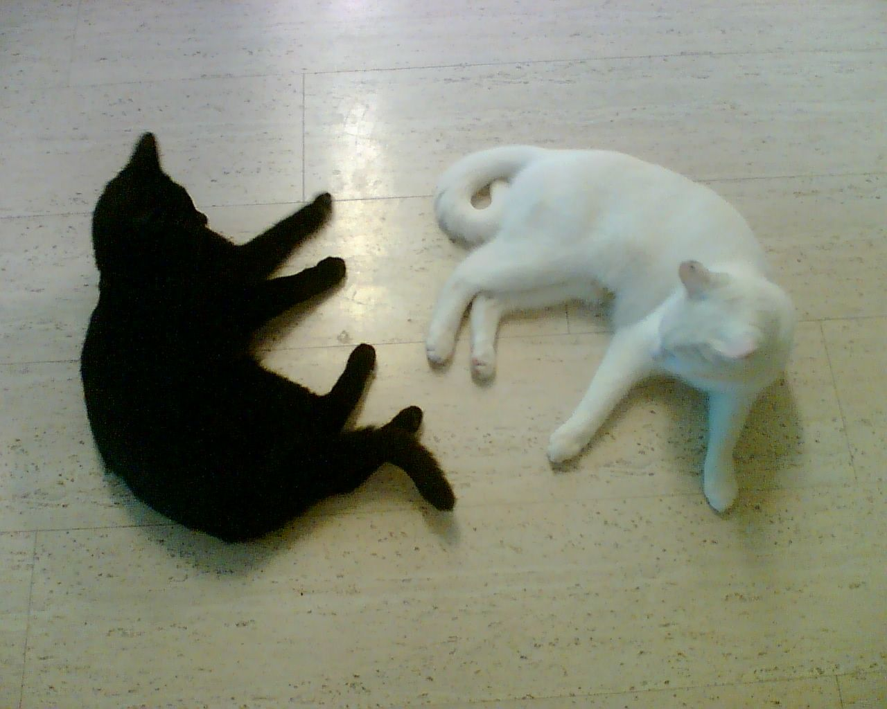 Resultado de imagen para cat black with cat white