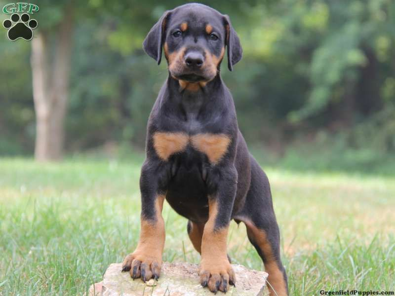 Rottweiler Doberman Mix Puppy Our Future Dog Doberman Mix