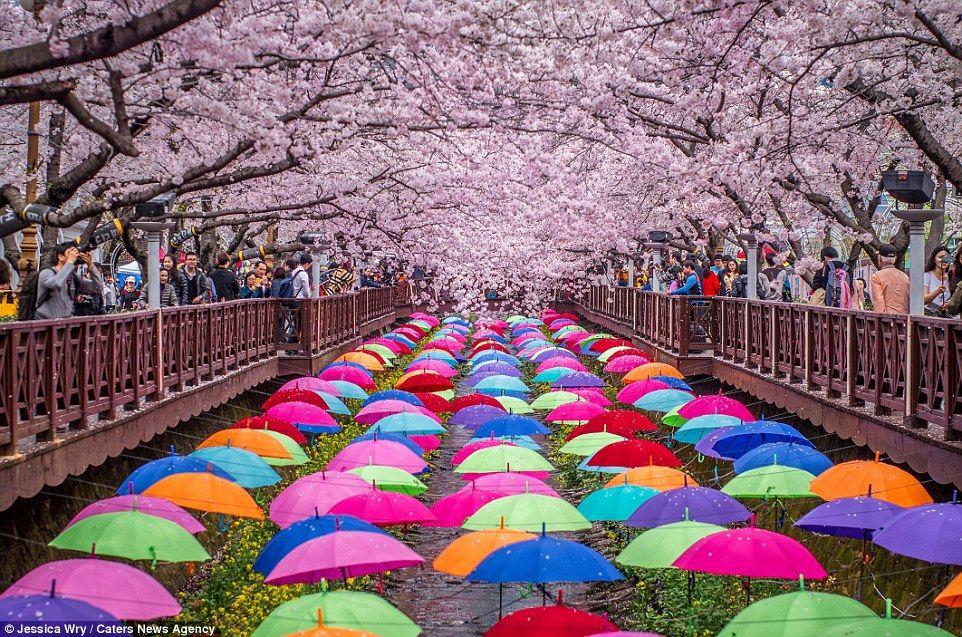 Pin By Thalie On Rainbow Cherry Blossom Japan Cherry Blossom Festival Blossom Trees