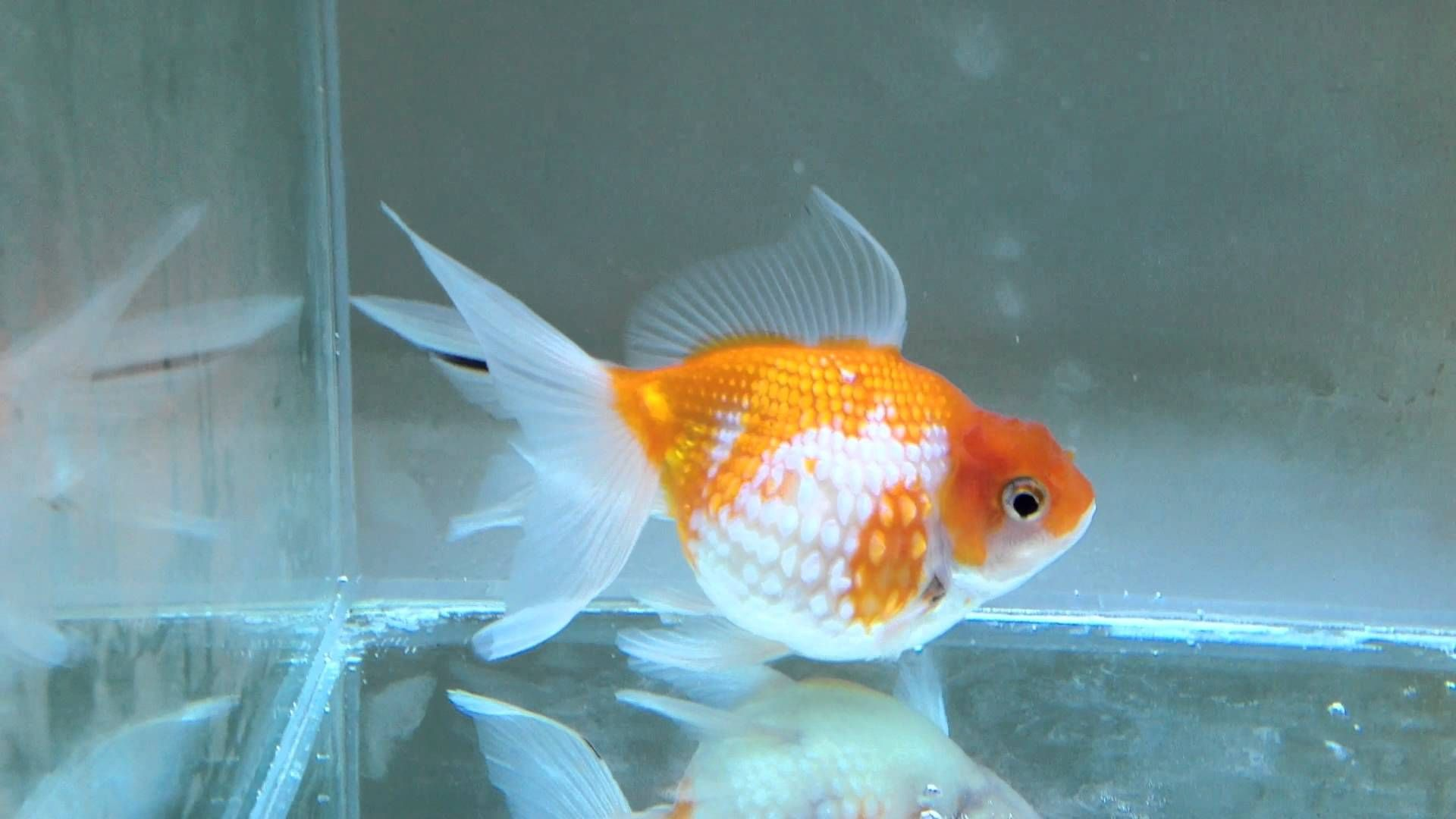 For Sale Goldfish Pearlscale Golfball 216a Goldfish Freshwater Aquarium Fish Aquarium Fish