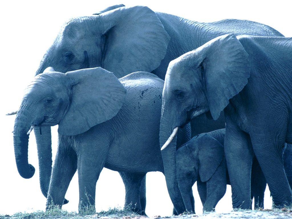 elephant family | photo of a family of elephants | tattoo ideas
