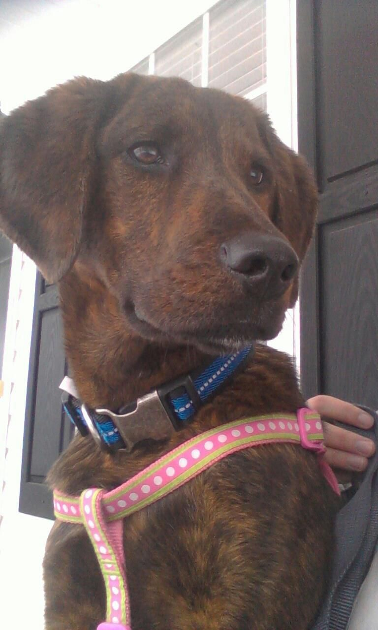 Sweet Holly Hound- Plott hound mix #plotthound