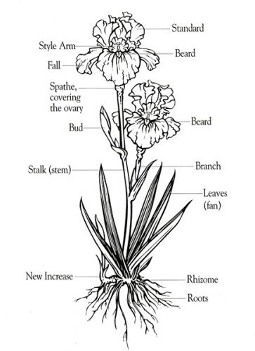 iris diagram anatomy of a bearded iris | gifts of a garden | iris ... #8