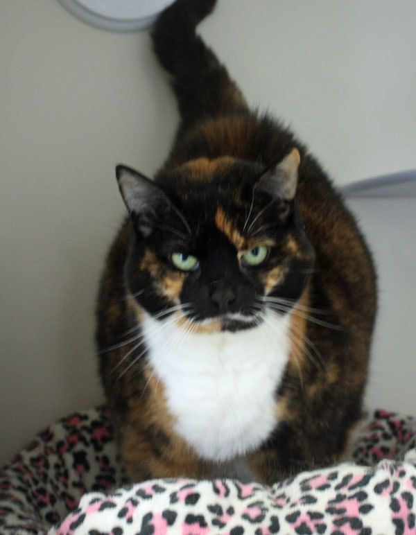 Adopt Carmella on Calico cat, Cute cats, Cats