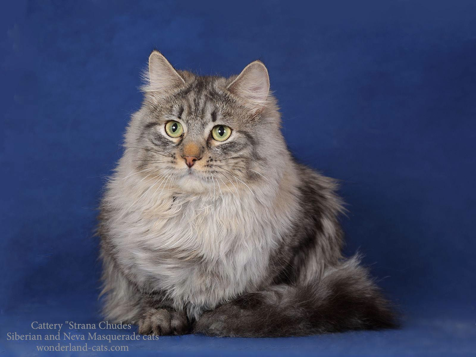 Russian Siberian beautiful cat black silver spotted. In