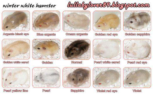 Winter White Dwarf Hamster Colorings Morskaya Svinka Homyachki Svinki