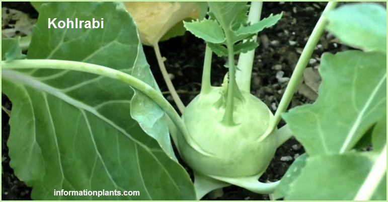 الكرنب الساقي او ابو ركبة Kohlrabi الخضروات النبات معلومان عامه معلوماتية نبات حيوان اسماك فوائد Kohlrabi Vegetables Cabbage