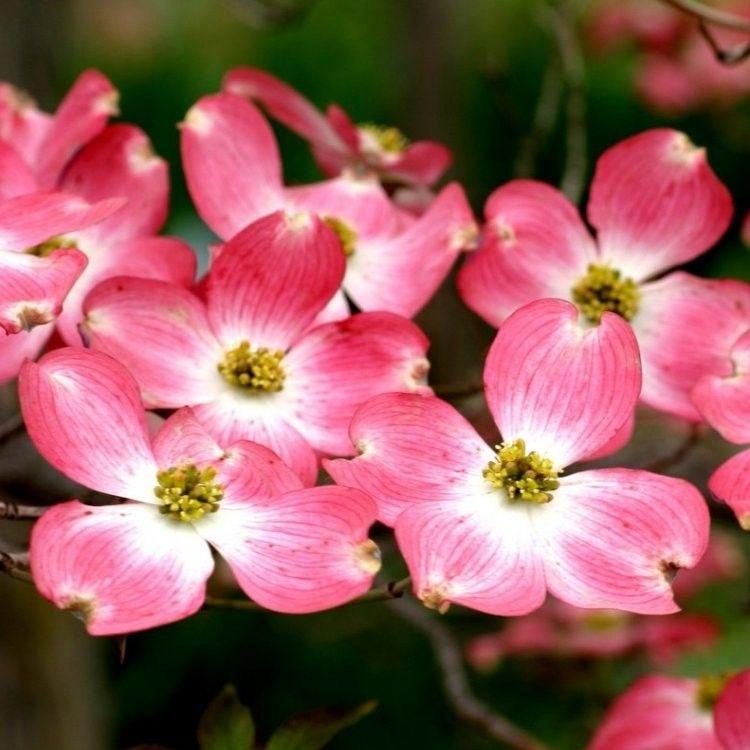 Cornus Florida Flowering Dogwood Large Specimen Plant Garden