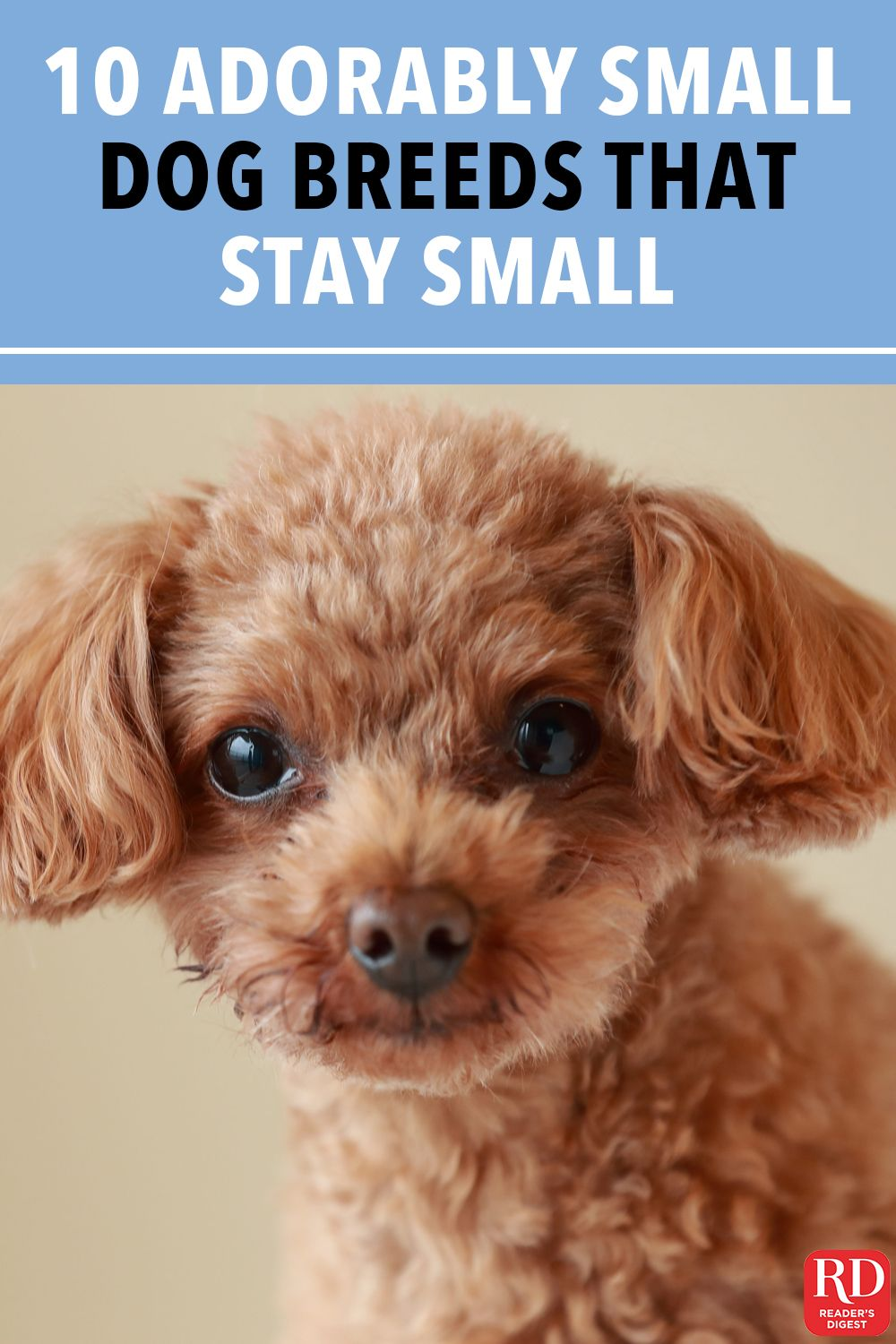 10 Adorably Small Dog Breeds That Stay Small Miniature Dog
