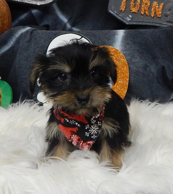 Yorkshire Terrier puppy for sale in CHICAGO, IL. ADN56394