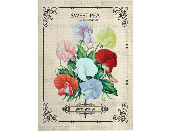 Canvas Prints Vintage Seed Packet Sweet Pea Flowers Print Multi Color Picture