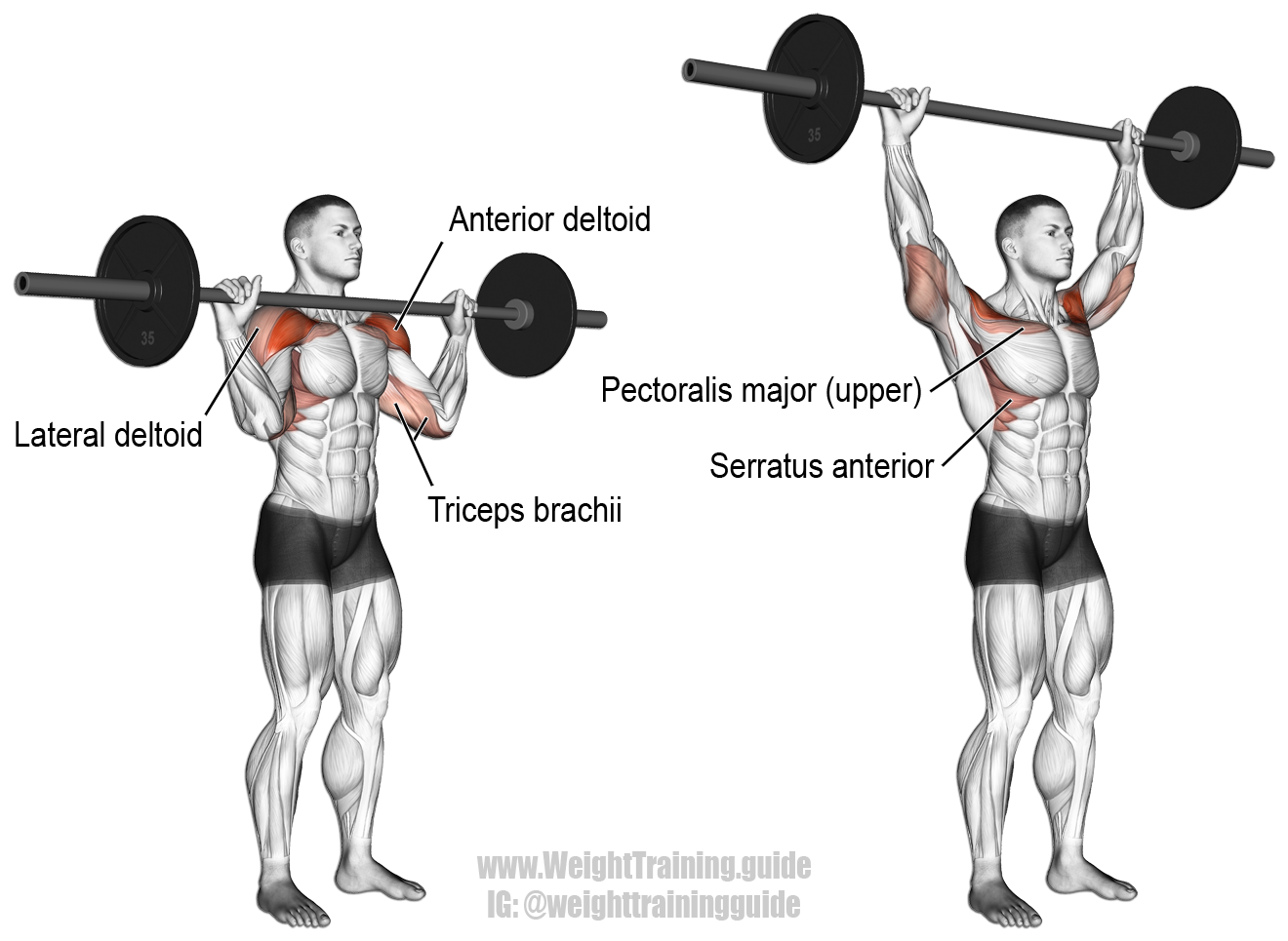 Barbell overhead press exercise guide and video | Shoulder ... Overhead Press Muscles Worked