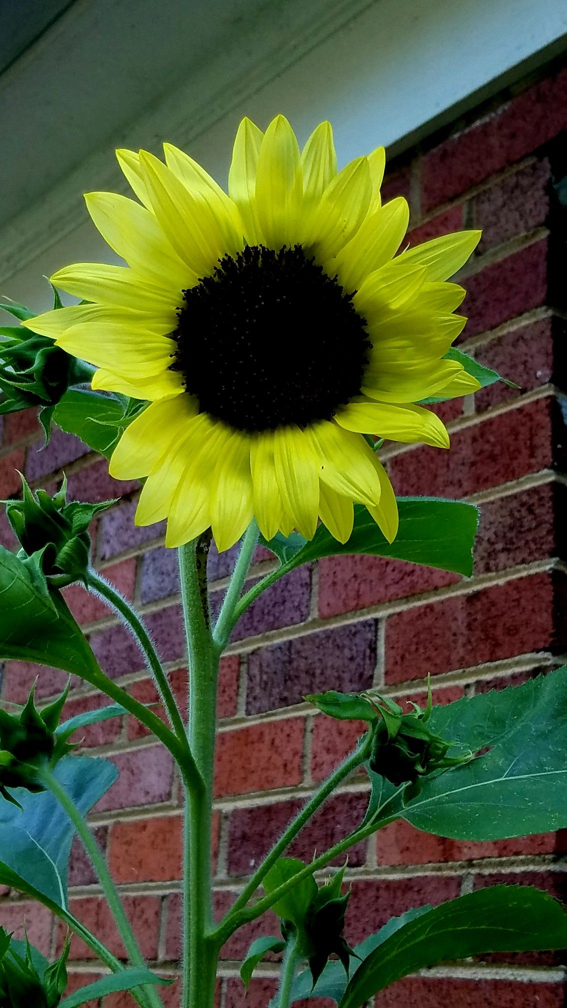 Pin On August Sunflowers