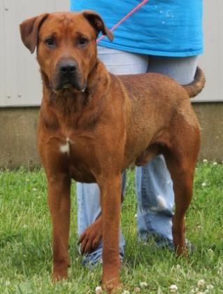 Petango Com Meet Hank A 2 Years 1 Month Retriever Coonhound