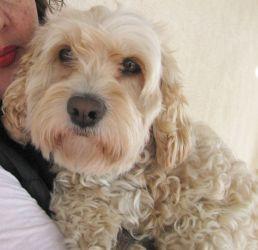 Trixy Is An Adoptable Cockapoo Dog In South San Francisco Ca