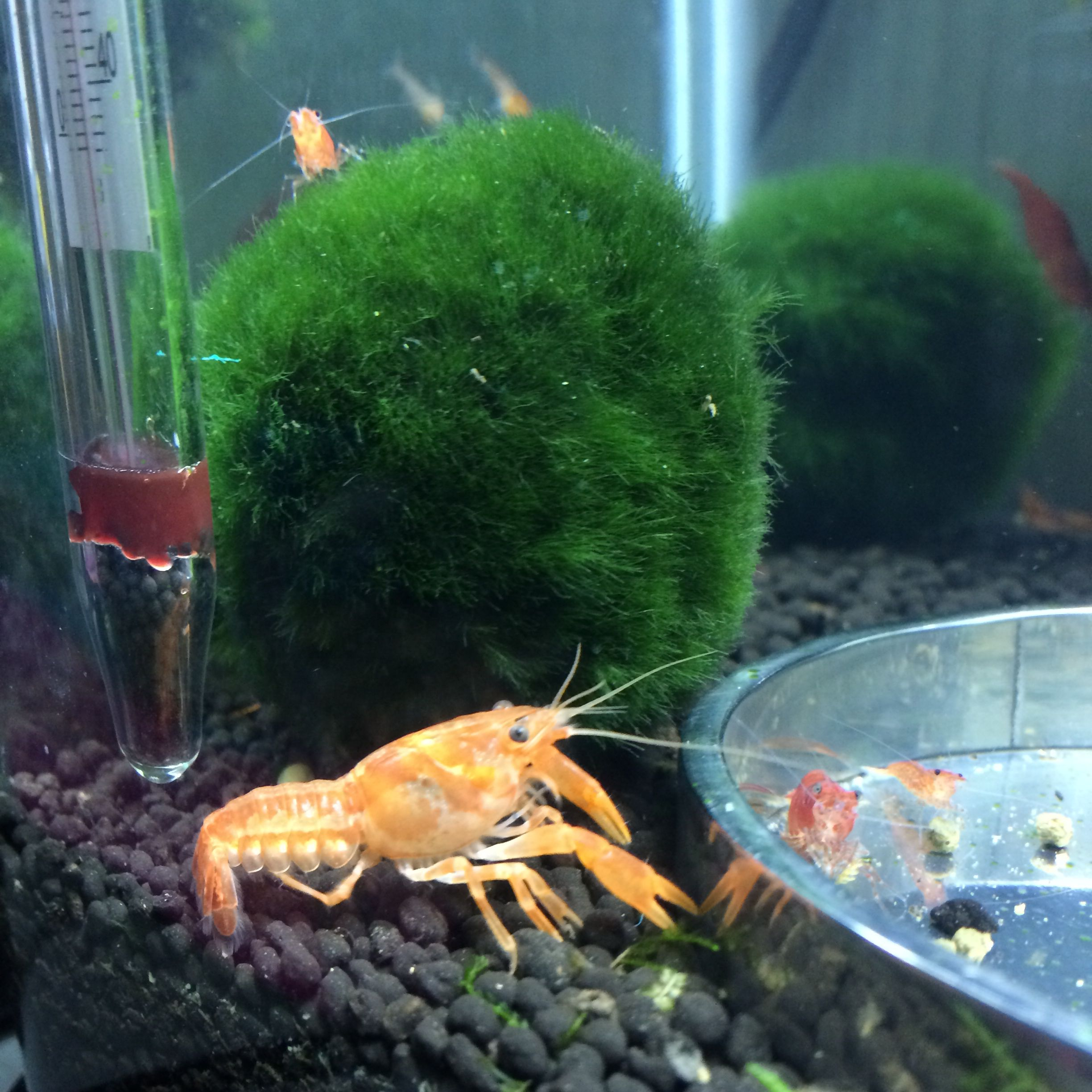 crayfish For my menagerie of animals Pinterest