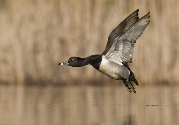 Ring-Necked Duck Male Flying, Island Lake Recreation Area, Michigan by Steve Gettle