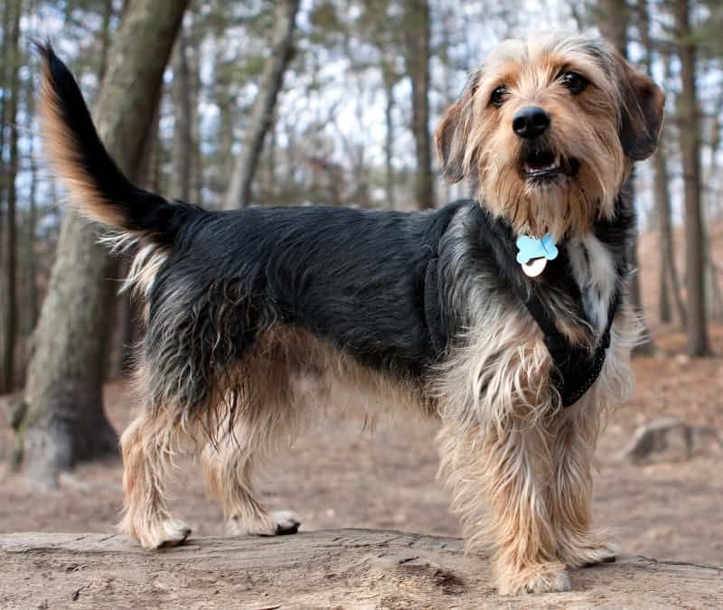 Top 15 Coolest, Cutest, and Most Popular Terrier Mixes