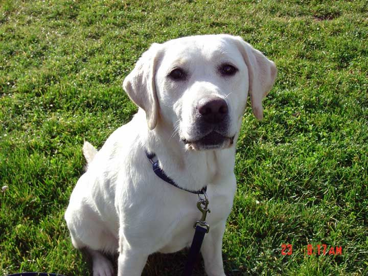 Rosie Is A Lab Who Has Been Trained To Detect Several Different Types Of Flammable Liquids With Images Pitbull Terrier Bull Terrier Dog Dog Adoption