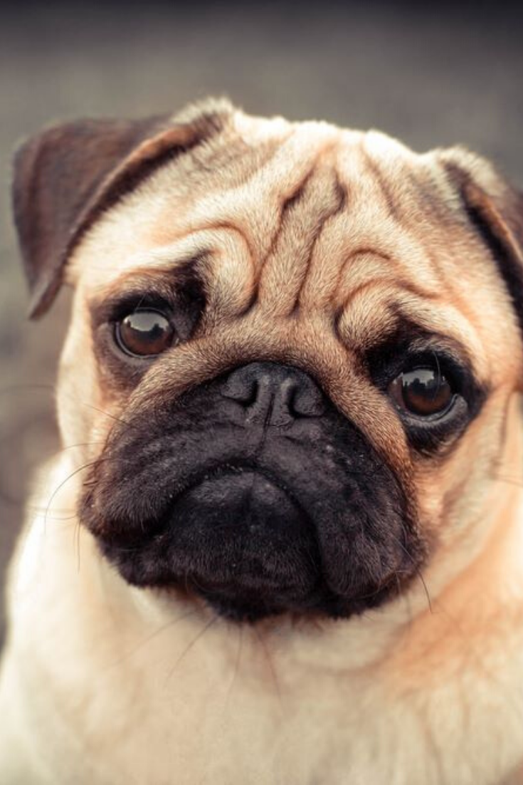 Portrait Of Beautiful Male Pug Puppy Dog Siting In Front Of The