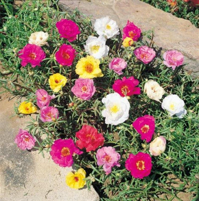 Portulaca Grandiflora Moss Rose Double Mix 6000 Seeds Etsy In 2020 Portulaca Flowers Flower Seed Gifts Rose Seeds
