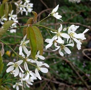 Shadblow Serviceberry Amelanchier Canadensis This Is Why You Need A Backyard Plants Edible Garden Native Plants