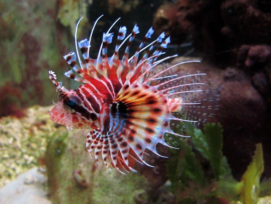Fuzzy Dwarf Lionfish Lion Fish Pet Fish Marine Animals
