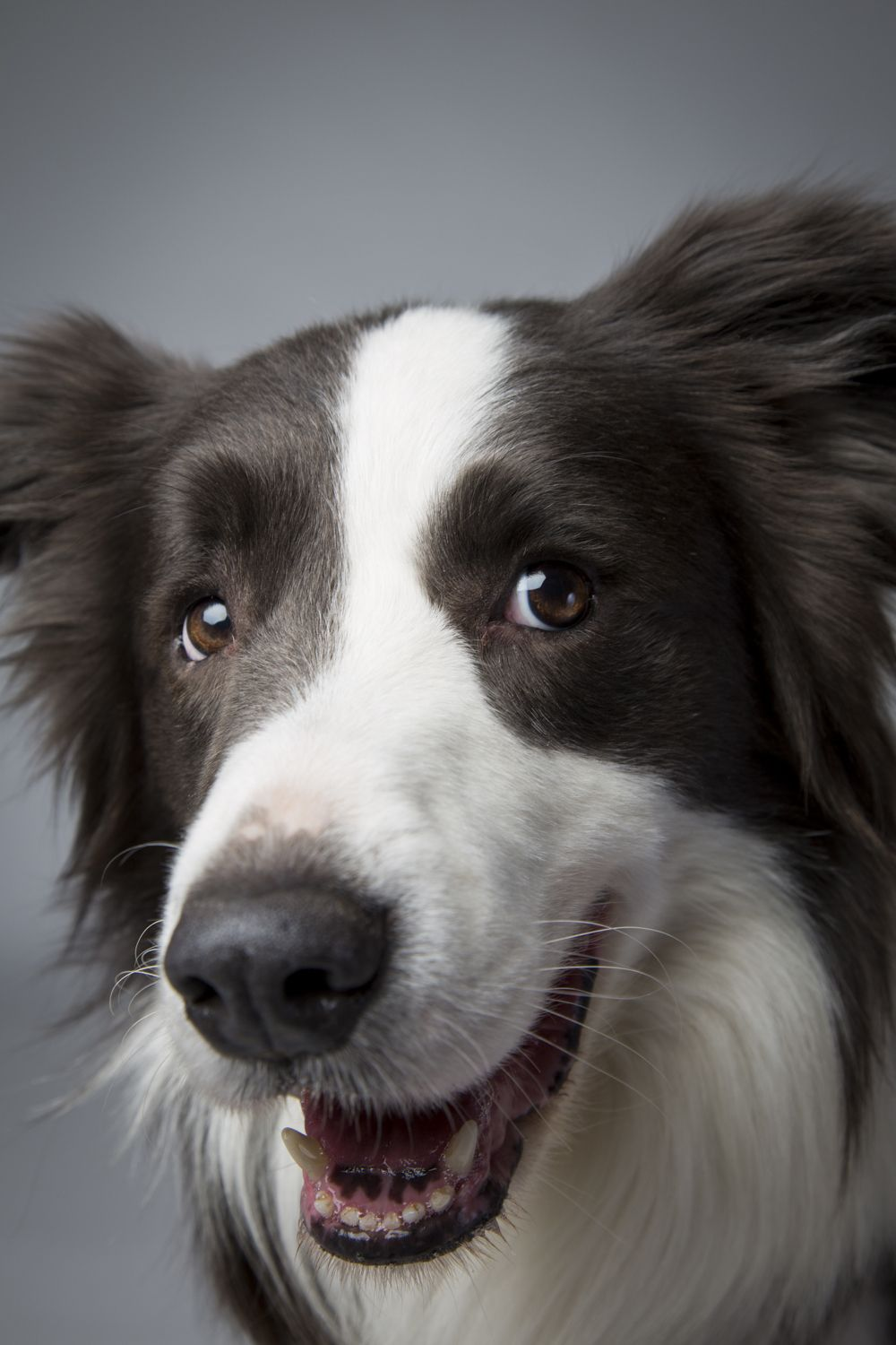 Top Dogs Portraits From Westminster Westminster Dog Show Dogs