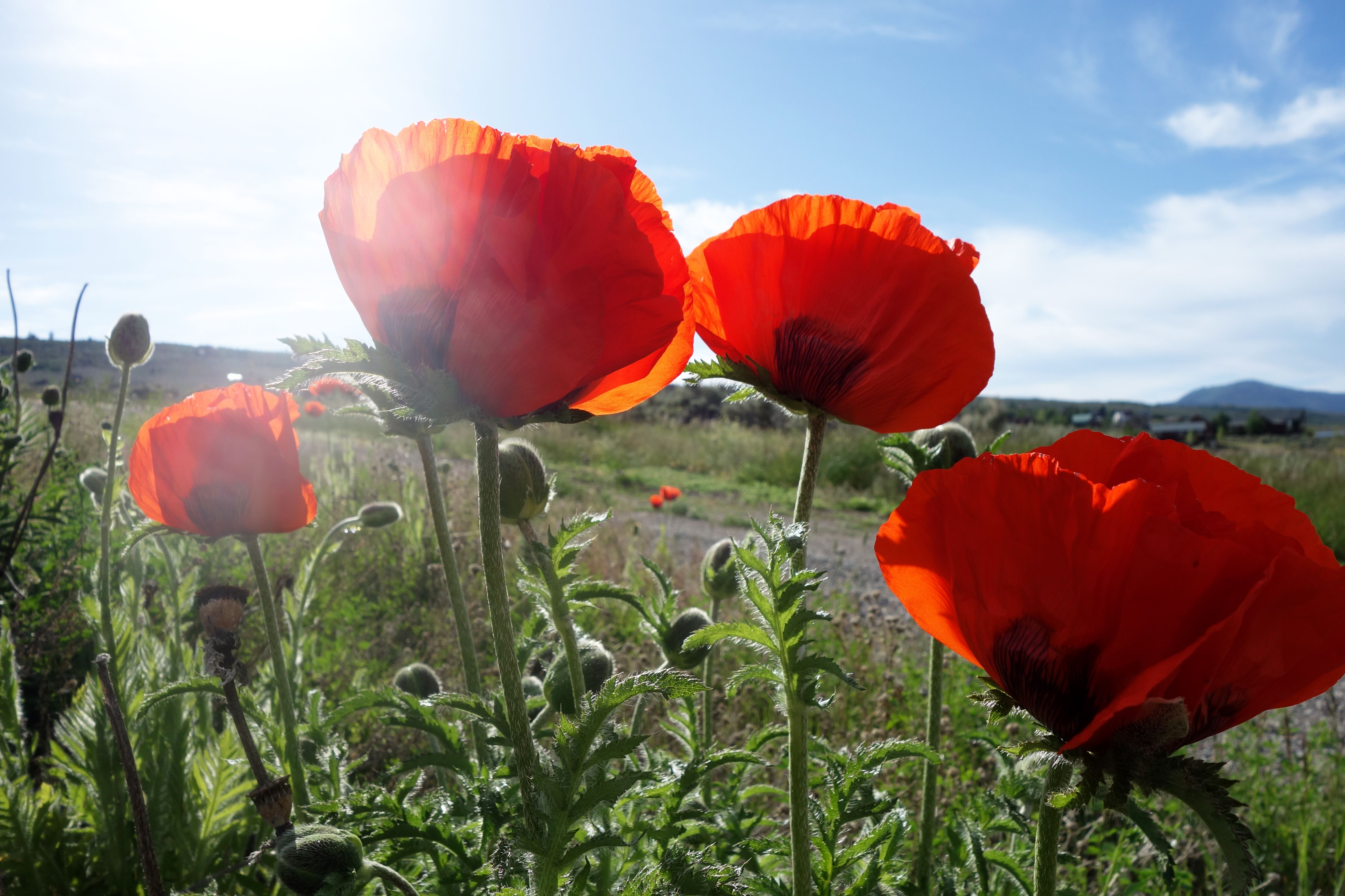 The Red Poppy Has Been A Symbol For Fallen Soldiers Since Wwi And