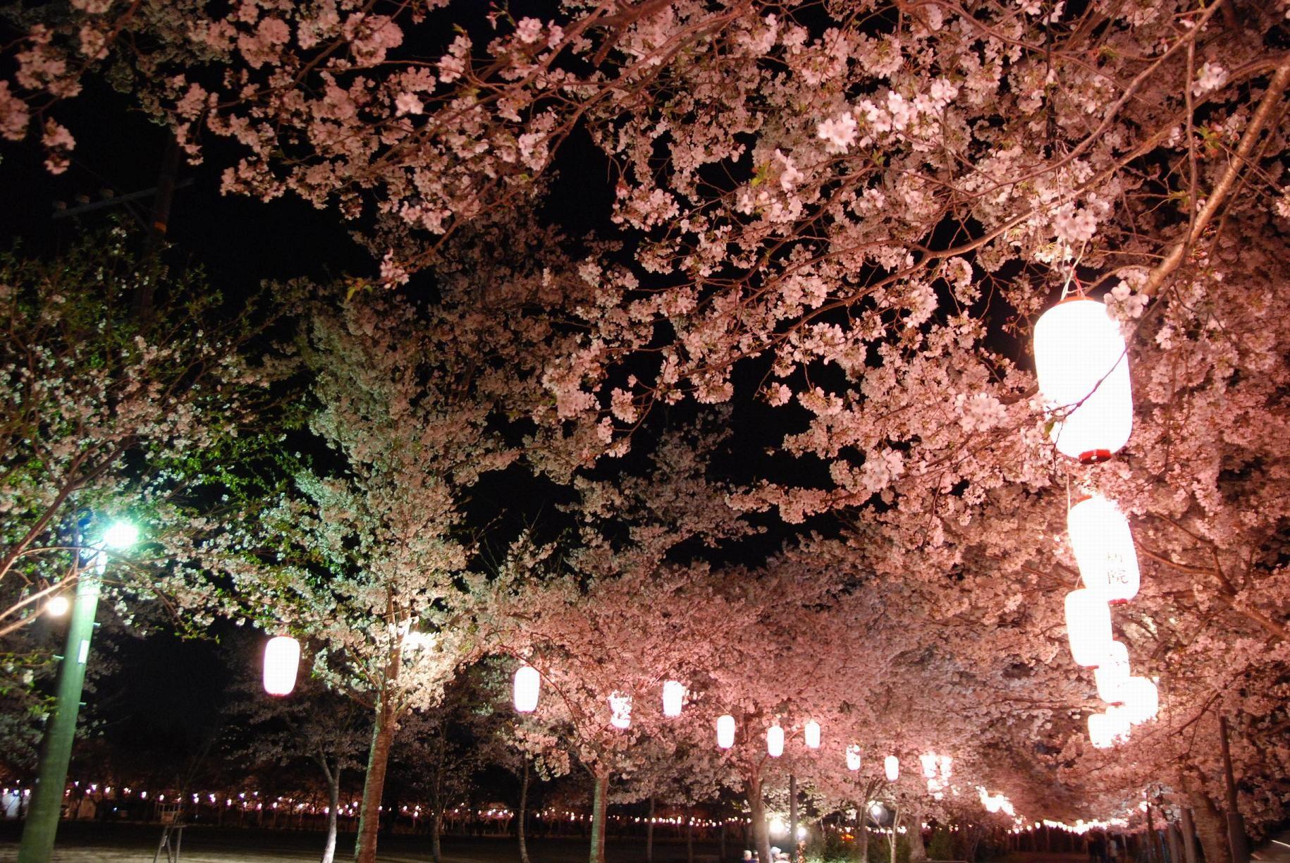 #japan #cherryblossoms #kyusyu #kagoshima 忠元公園千本桜