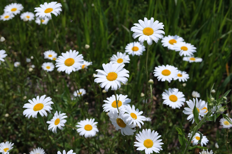 Wild daisies in Pennsylvania 2014 Samsung nx300, Plants