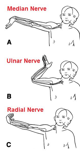Zenuwrek n. medianus, n. ulnaris en n. radialis | acupuncture point ...