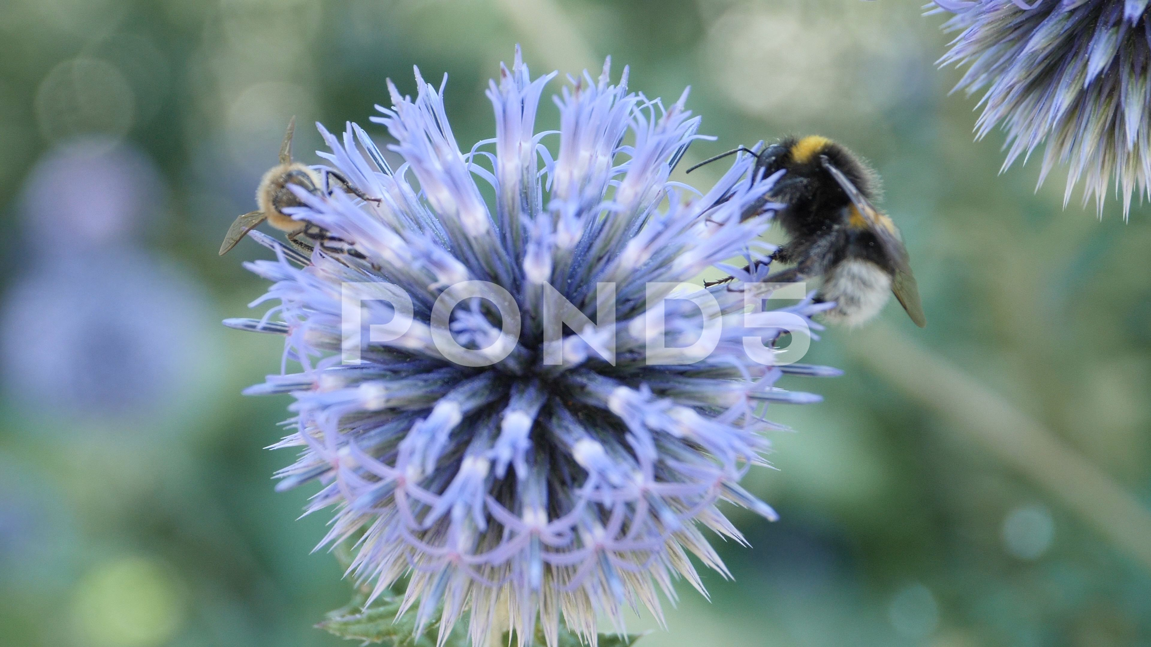Macro Bumblebee And Honey Bee On Thistle Flower 4k Stock
