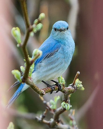 Mountain Bluebird...saw lots of them in Wyoming this past Spring