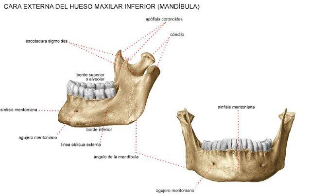Huesos que componen la Cavidad Oral: HUESO MANDIBULAR O MAXILAR ...