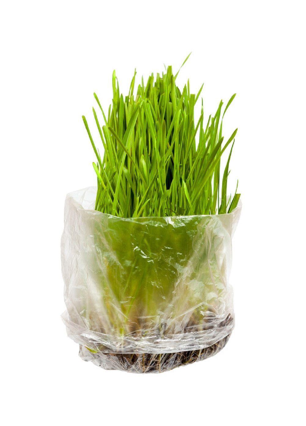 Premium Wheatgrass/ Cat Grass Seeds. High Germination, Non
