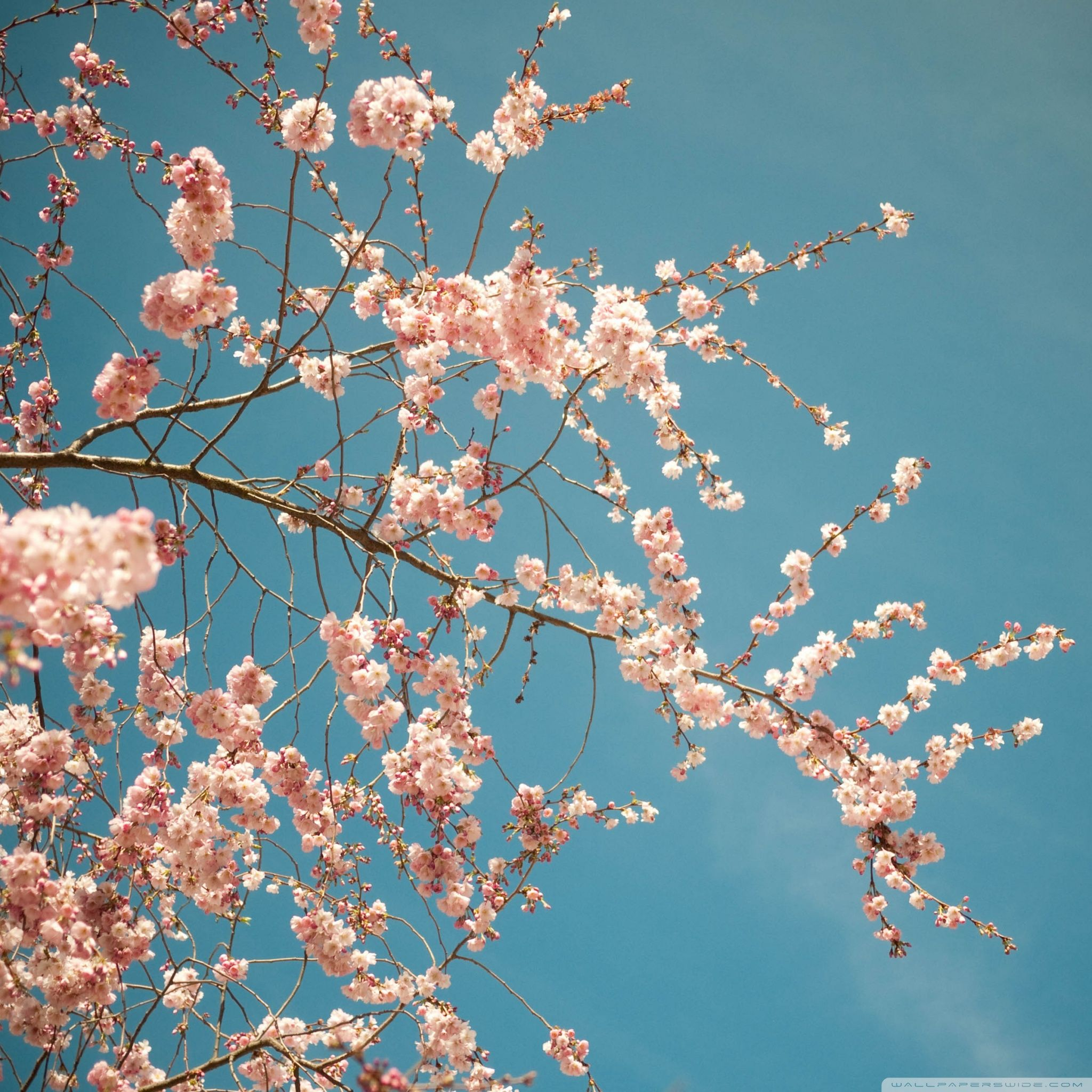 Spring Blossom Hd Desktop Wallpaper High Definition Fullscreen Blue Flower Wallpaper Cherry Blossom Pictures Beauty Wallpaper