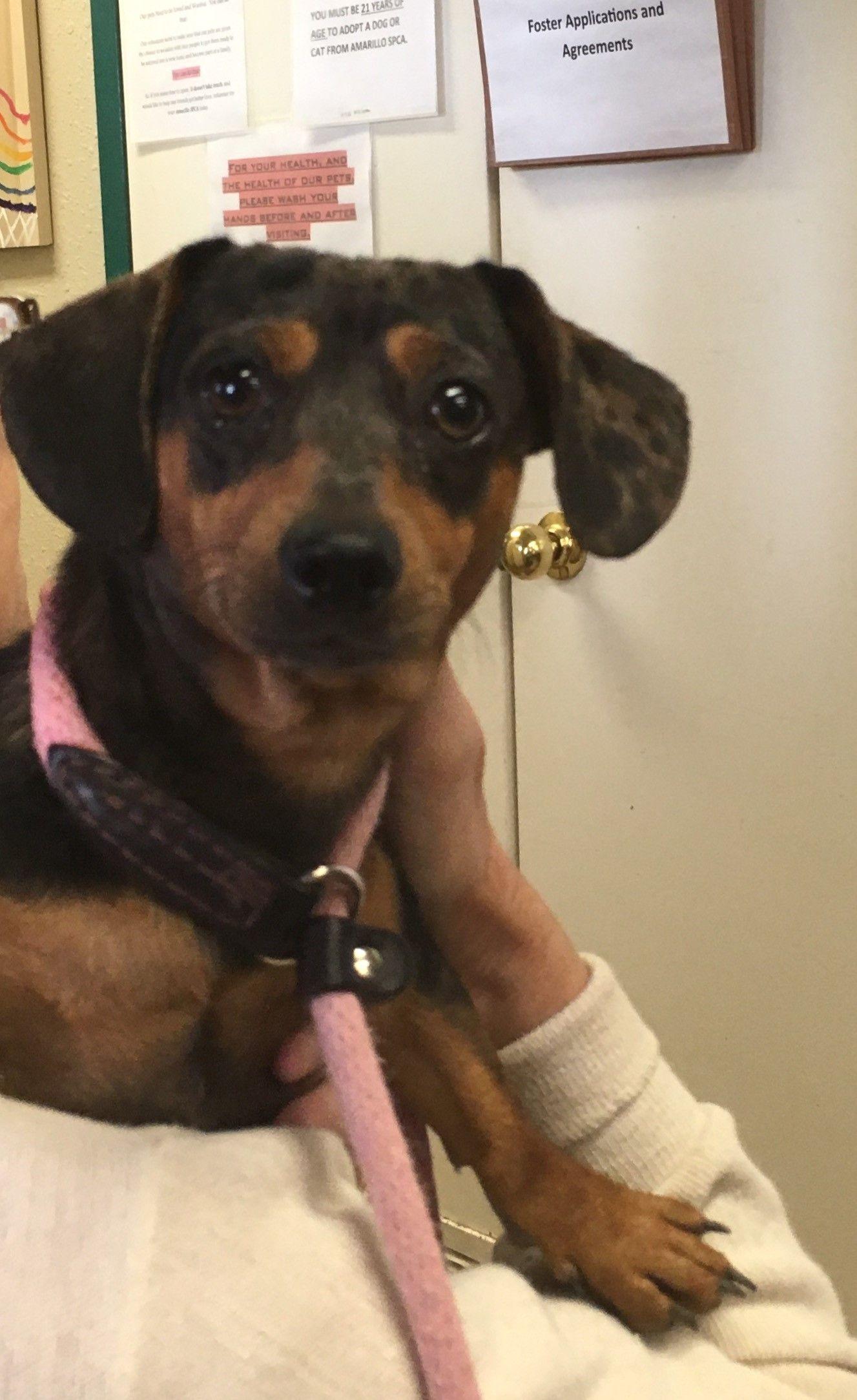 Dachshund dog for adoption in amarillo tx adn612240 on