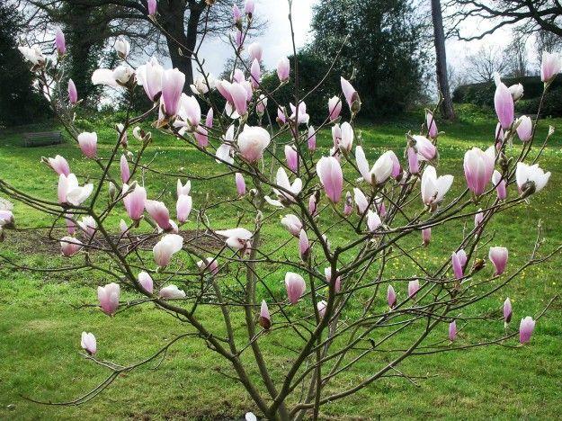 Small Magnolia Tree Google Search Garden Magnolia Trees