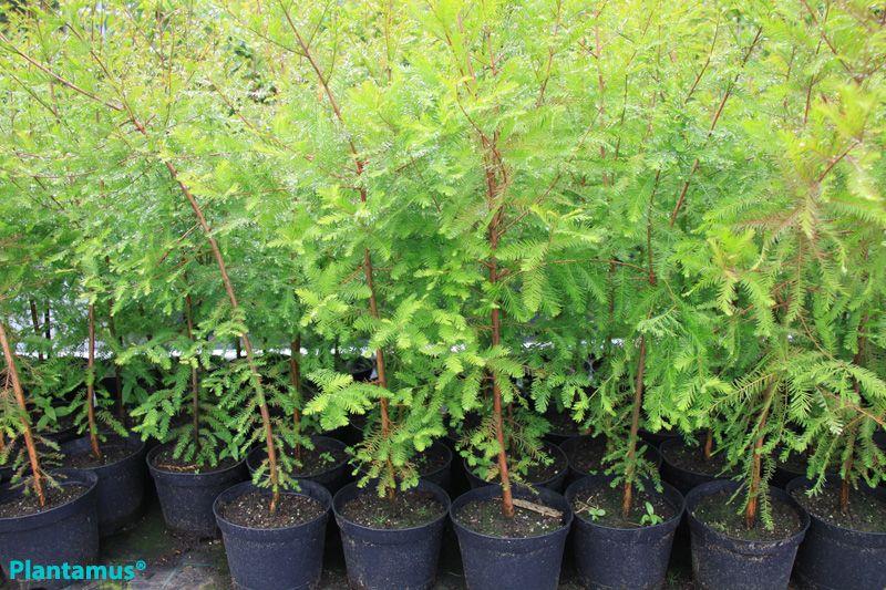 Pin de plantamus vivero galicia en coniferas arboles for Arboles de hoja perenne en galicia