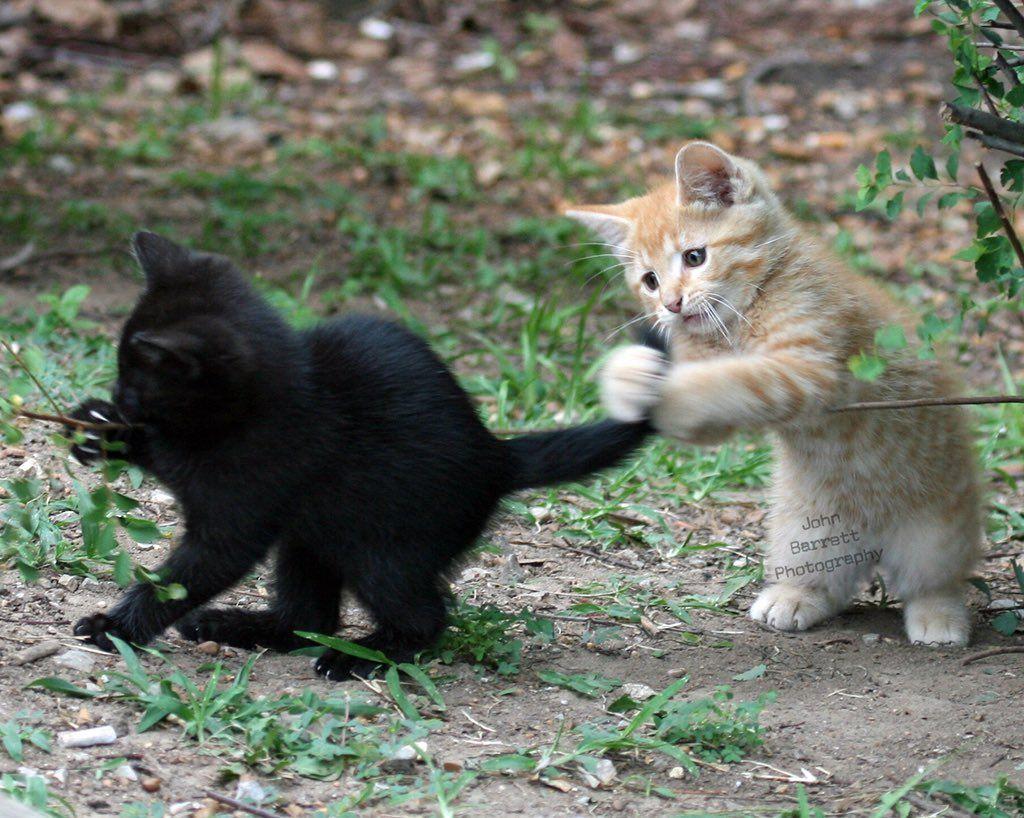 Frizzly ⵙⴰⵔⴰ ⵣ On Twitter Orange Kittens Kittens Playing Kittens