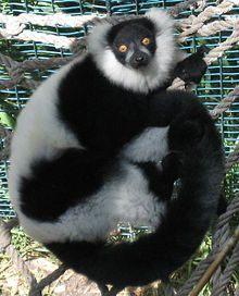The ruffed lemurs of the genus Varecia are strepsirrhine primates and the largest extant lemurs within the family Lemuridae. Like all living lemurs, they are found only on the island of Madagascar. Formerly considered to be a monotypic genus, two species are now recognized: the black-and-white ruffed lemur, with its three subspecies, and the red ruffed lemur.
