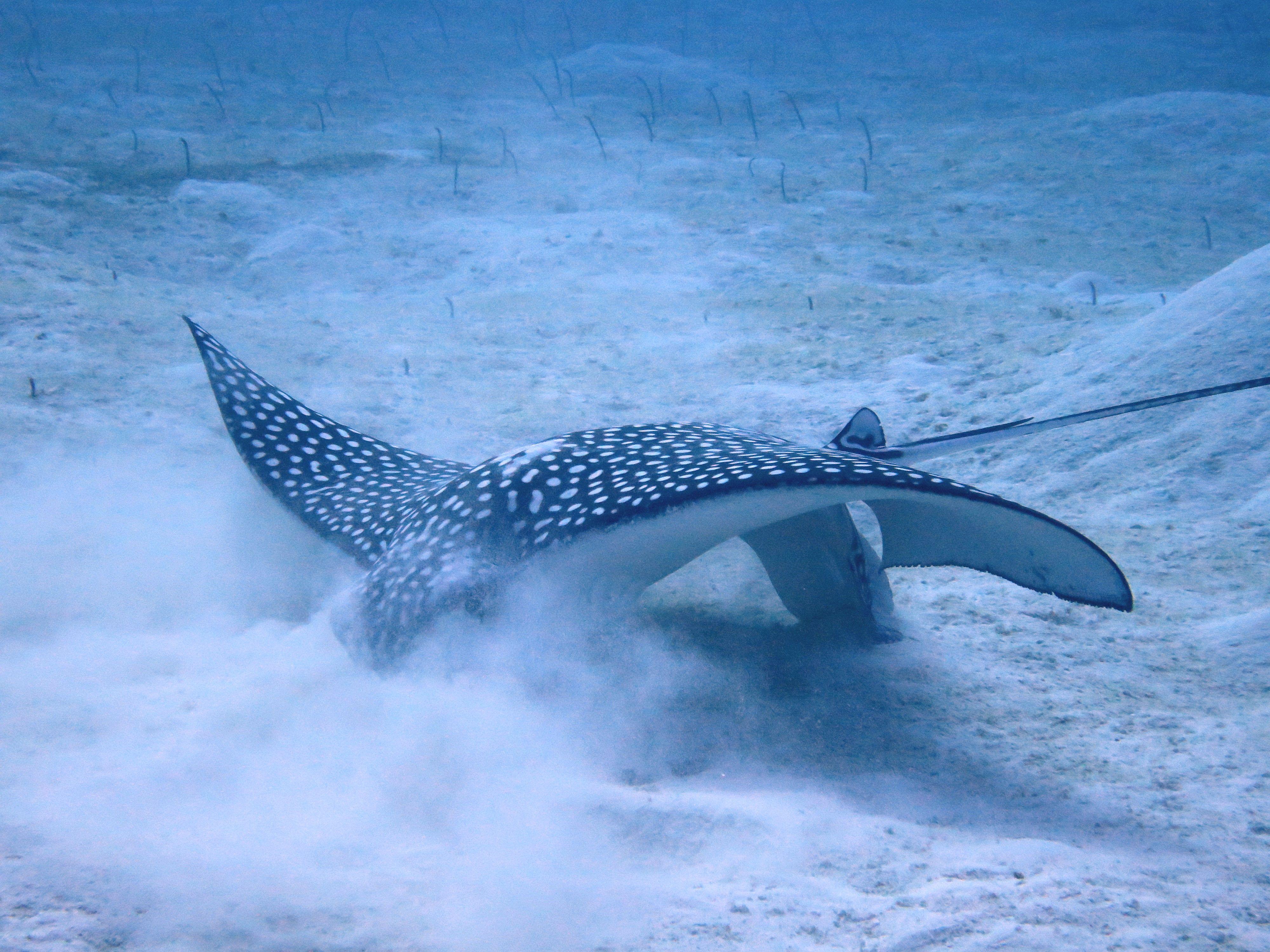 Spotted eagle ray feeding on garden eels - Cayman Islands