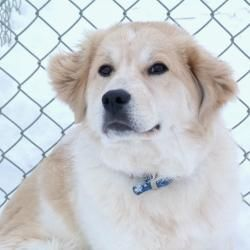 Adopt Daisy On Trial On Dogs Great Pyrenees Golden