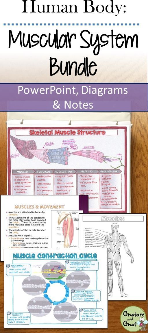 Muscular System- PowerPoint, Doodle Notes, Diagrams, & Lab ...