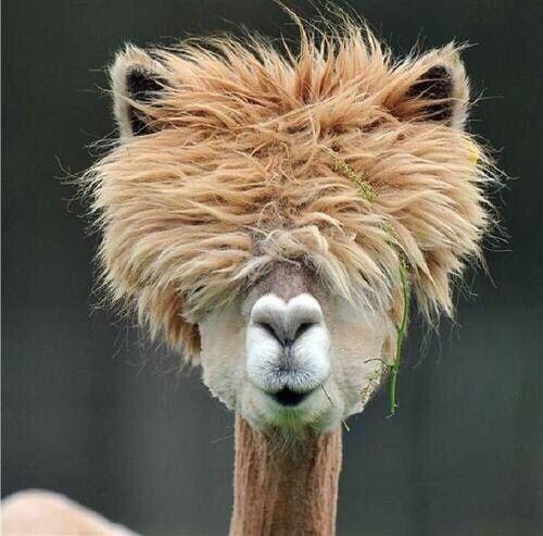 Bad Hair Day In The Animal World Alpaca By Porky Alpaka Lustig