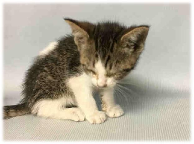 ***Must find placement by 6PM today*** STRIPES A1116960 Super Urgent Shelter Cats  These animals are either high risk, injured or have previously appeared on the To Be Destroyed list and survived. They are in danger of being on the list again or destroyed without any further notice.  Super Urgent Shelter Cats  These animals are either high risk, injured or have previously appeared on the To Be Destroyed list and survived. They are in danger of being on the list again or destroyed without any…