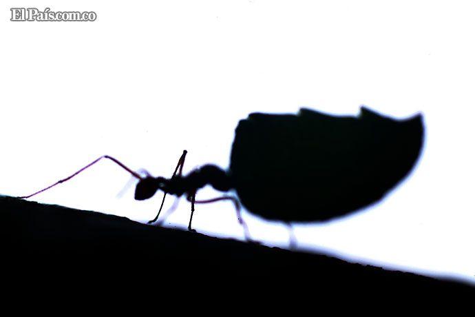 En el oeste de Cali se encuentran con facilidad grupos de hormigas ...