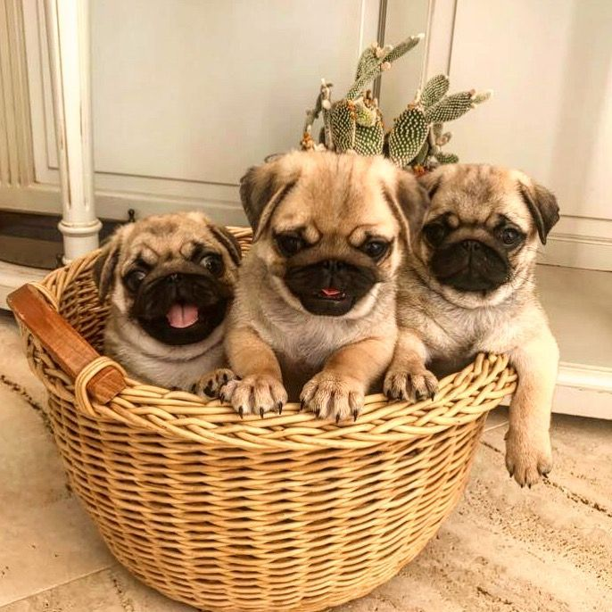 Oct 9th Pug History Page Added Cute Pug Puppies Cute Pugs