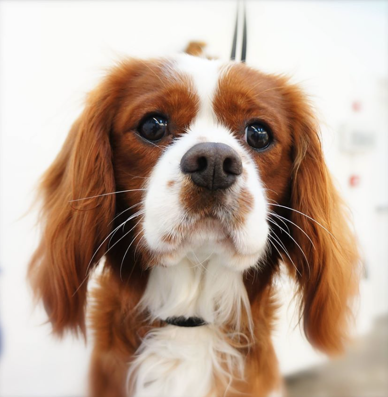 Archie - Cavalier king Charles